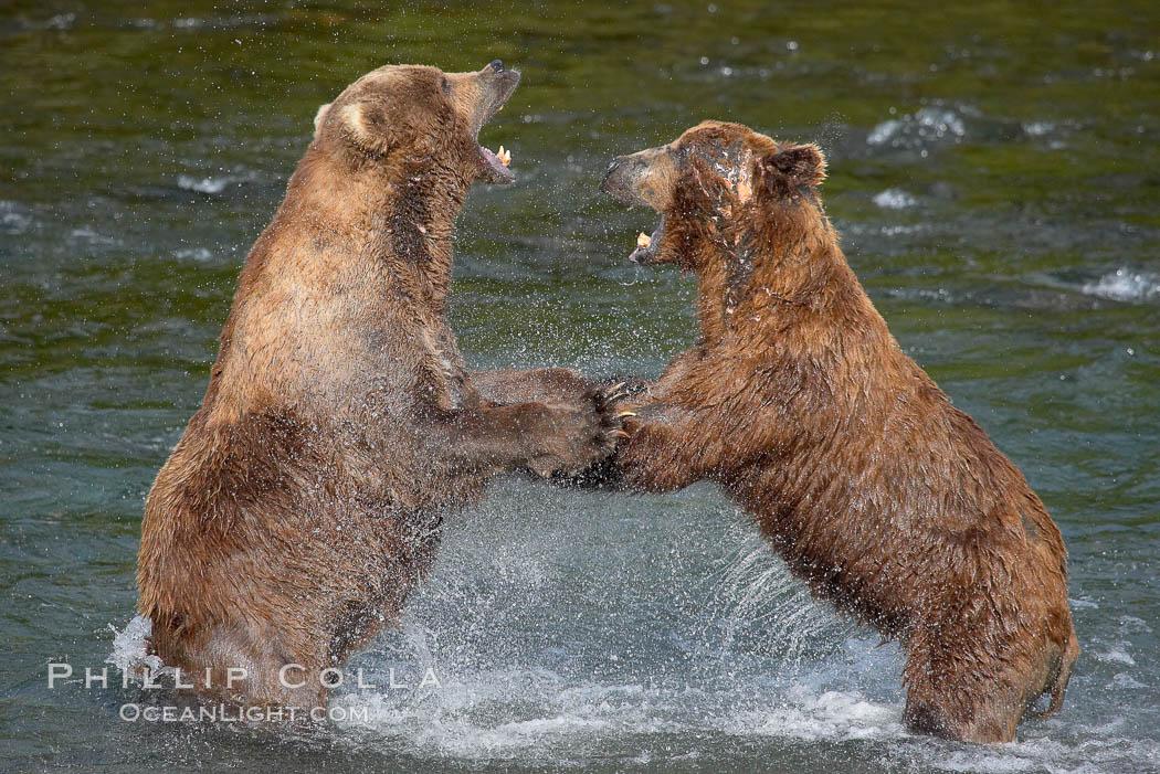 Two mature brown bears fight to establish hierarchy and fishing rights. Brooks River, Katmai National Park, Alaska, USA, Ursus arctos, natural history stock photograph, photo id 17036
