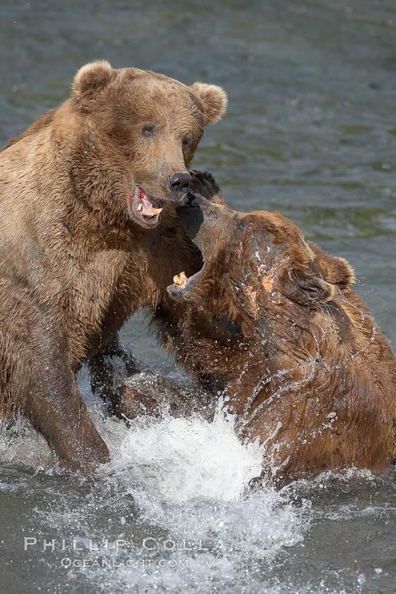 Two mature brown bears fight to establish hierarchy and fishing rights. Brooks River, Katmai National Park, Alaska, USA, Ursus arctos, natural history stock photograph, photo id 17116