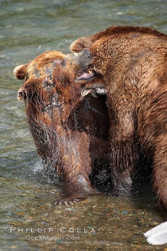 Two mature brown bears fight to establish hierarchy and fishing rights. Brooks River, Katmai National Park, Alaska, USA, Ursus arctos, natural history stock photograph, photo id 17232