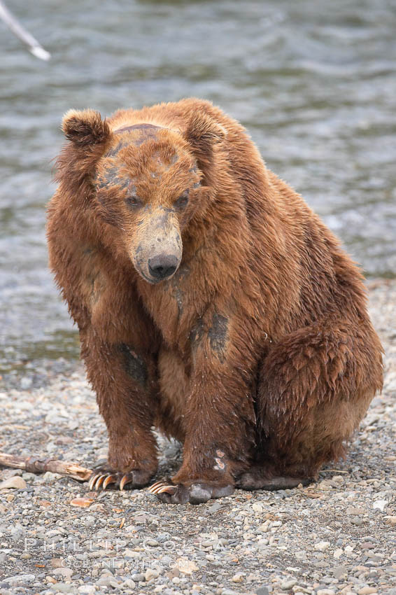 Brown bear bearing scars and wounds about its head from past fighting with other bears to establish territory and fishing rights. Brooks River. Katmai National Park, Alaska, USA, Ursus arctos, natural history stock photograph, photo id 17343
