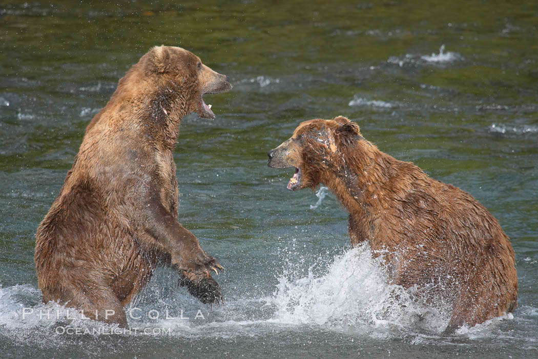 Two mature brown bears fight to establish hierarchy and fishing rights. Brooks River, Katmai National Park, Alaska, USA, Ursus arctos, natural history stock photograph, photo id 17233
