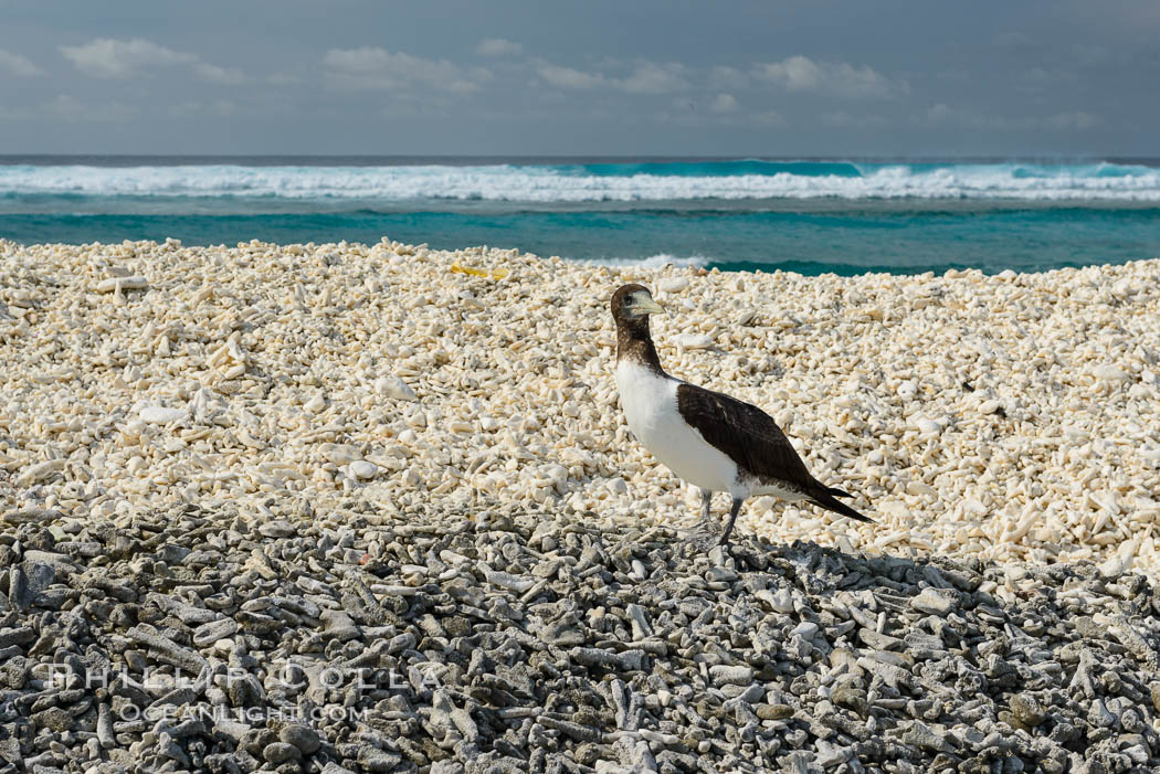 Brown booby, Clipperton island. Clipperton Island, France, Sula leucogaster, natural history stock photograph, photo id 33074