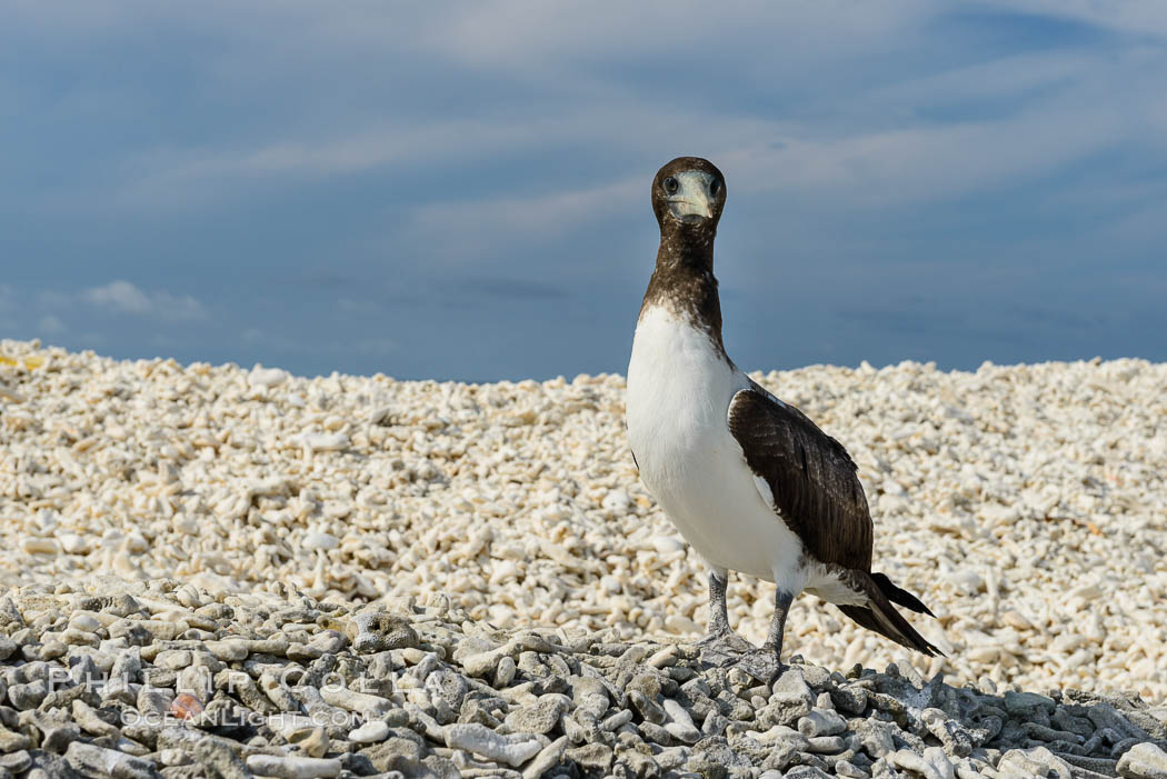 Brown booby, Clipperton island. Clipperton Island, France, Sula leucogaster, natural history stock photograph, photo id 33075