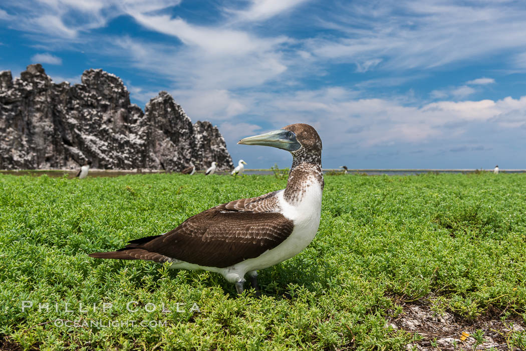 Brown booby, Clipperton island. Clipperton Island, France, Sula leucogaster, natural history stock photograph, photo id 33087