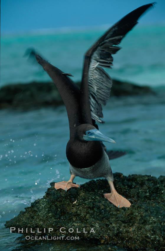 Brown booby. Rose Atoll National Wildlife Sanctuary, American Samoa, USA, Sula leucogaster, natural history stock photograph, photo id 00879