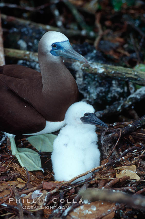Brown booby, adult and chick at nest. Cocos Island, Costa Rica, Sula leucogaster, natural history stock photograph, photo id 03259