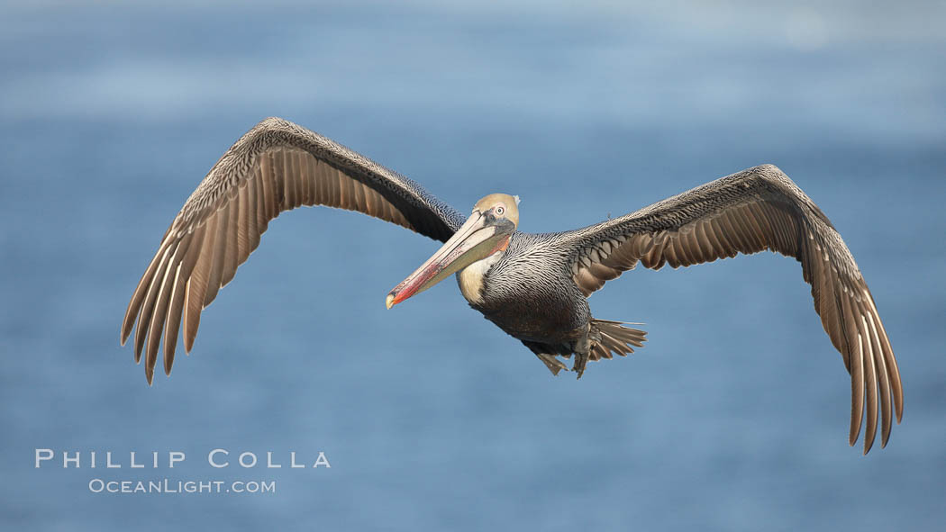 Brown pelican in flight.  The wingspan of the brown pelican is over 7 feet wide. The California race of the brown pelican holds endangered species status.  In winter months, breeding adults assume a dramatic plumage. La Jolla, California, USA, Pelecanus occidentalis, Pelecanus occidentalis californicus, natural history stock photograph, photo id 22162