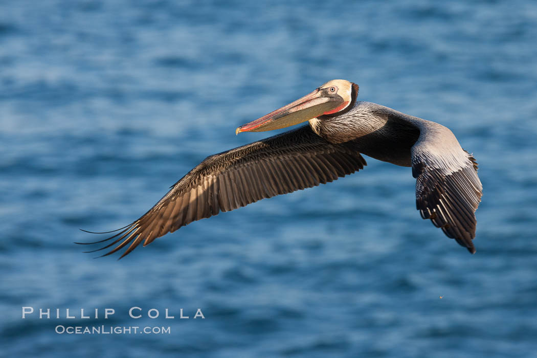 Brown pelican in flight.  The wingspan of the brown pelican is over 7 feet wide. The California race of the brown pelican holds endangered species status.  In winter months, breeding adults assume a dramatic plumage. La Jolla, California, USA, Pelecanus occidentalis, Pelecanus occidentalis californicus, natural history stock photograph, photo id 23623