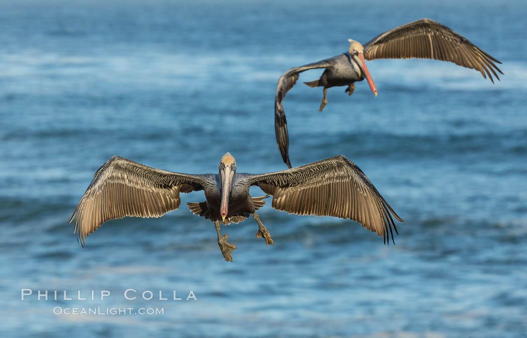 Brown pelican in flight, over the ocean. La Jolla, California, USA, Pelecanus occidentalis, Pelecanus occidentalis californicus, natural history stock photograph, photo id 30183