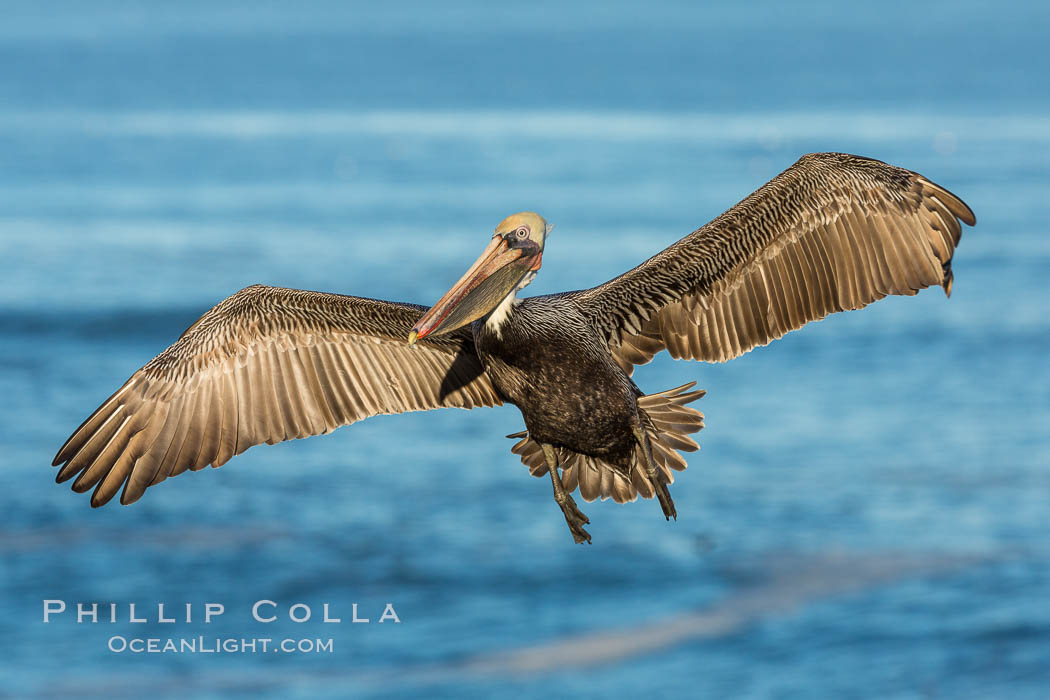 Brown pelican in flight. The wingspan of the brown pelican is over 7 feet wide. The California race of the brown pelican holds endangered species status. In winter months, breeding adults assume a dramatic plumage. La Jolla, California, USA, Pelecanus occidentalis, Pelecanus occidentalis californicus, natural history stock photograph, photo id 28357
