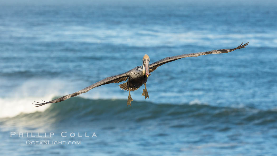 Brown pelican flying over waves and the surf. La Jolla, California, USA, Pelecanus occidentalis, Pelecanus occidentalis californicus, natural history stock photograph, photo id 30184