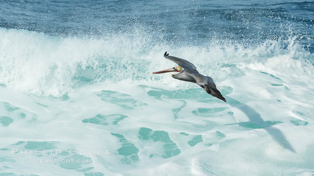 Brown pelican flying over waves and the surf. La Jolla, California, USA, Pelecanus occidentalis, Pelecanus occidentalis californicus, natural history stock photograph, photo id 30199