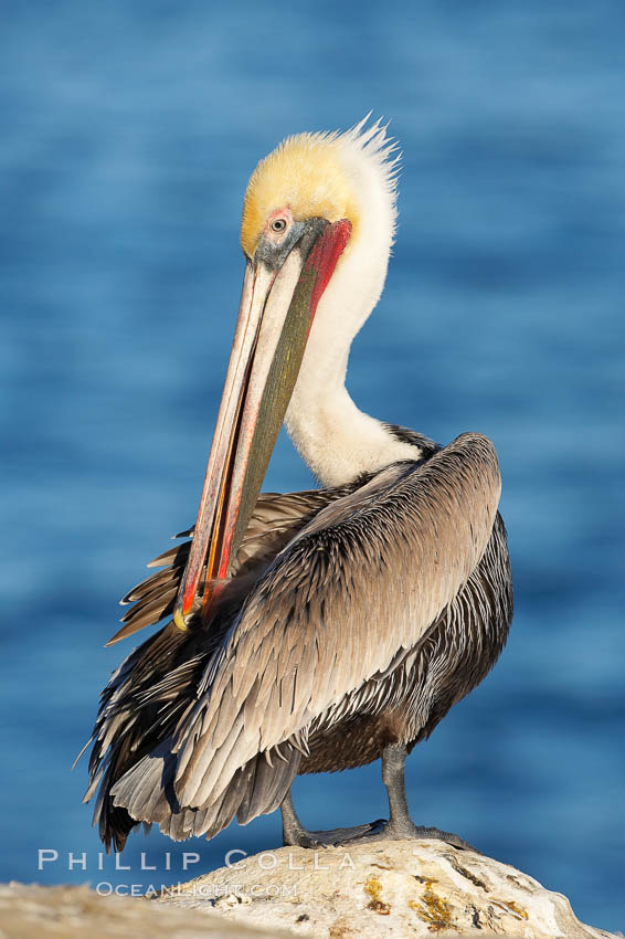 A brown pelican preening, reaching with its beak to the uropygial gland (preen gland) near the base of its tail.  Preen oil from the uropygial gland is spread by the pelican's beak and back of its head to all other feathers on the pelican, helping to keep them water resistant and dry.  Adult winter non-breeding plumage showing white hindneck and red gular throat pouch. La Jolla, California, USA, Pelecanus occidentalis, Pelecanus occidentalis californicus, natural history stock photograph, photo id 18054