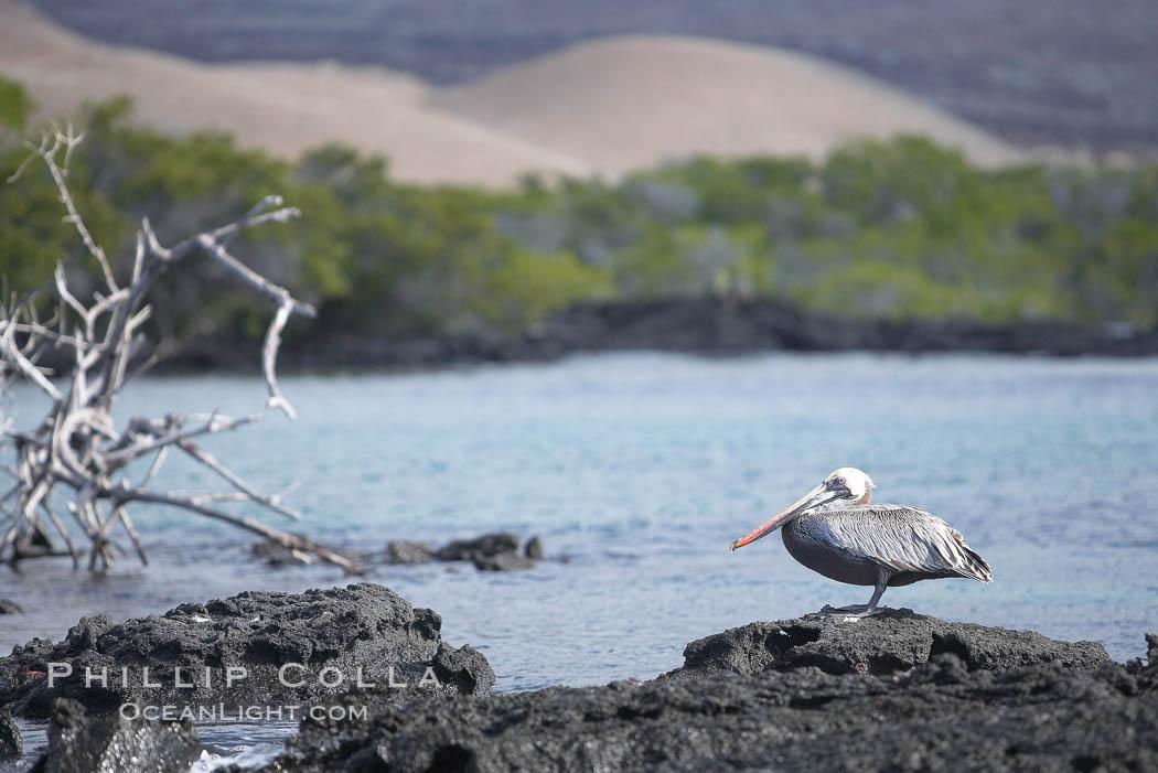 Brown pelican. North Seymour Island, Galapagos Islands, Ecuador, Pelecanus occidentalis, natural history stock photograph, photo id 16542