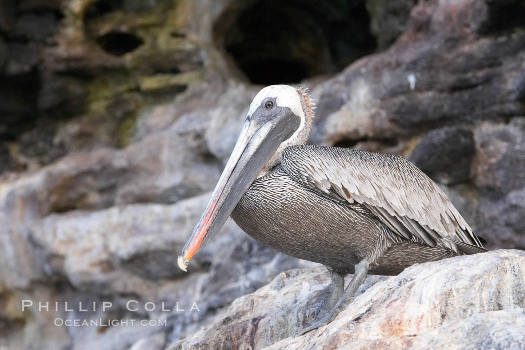 Brown pelican. North Seymour Island, Galapagos Islands, Ecuador, Pelecanus occidentalis, natural history stock photograph, photo id 16541