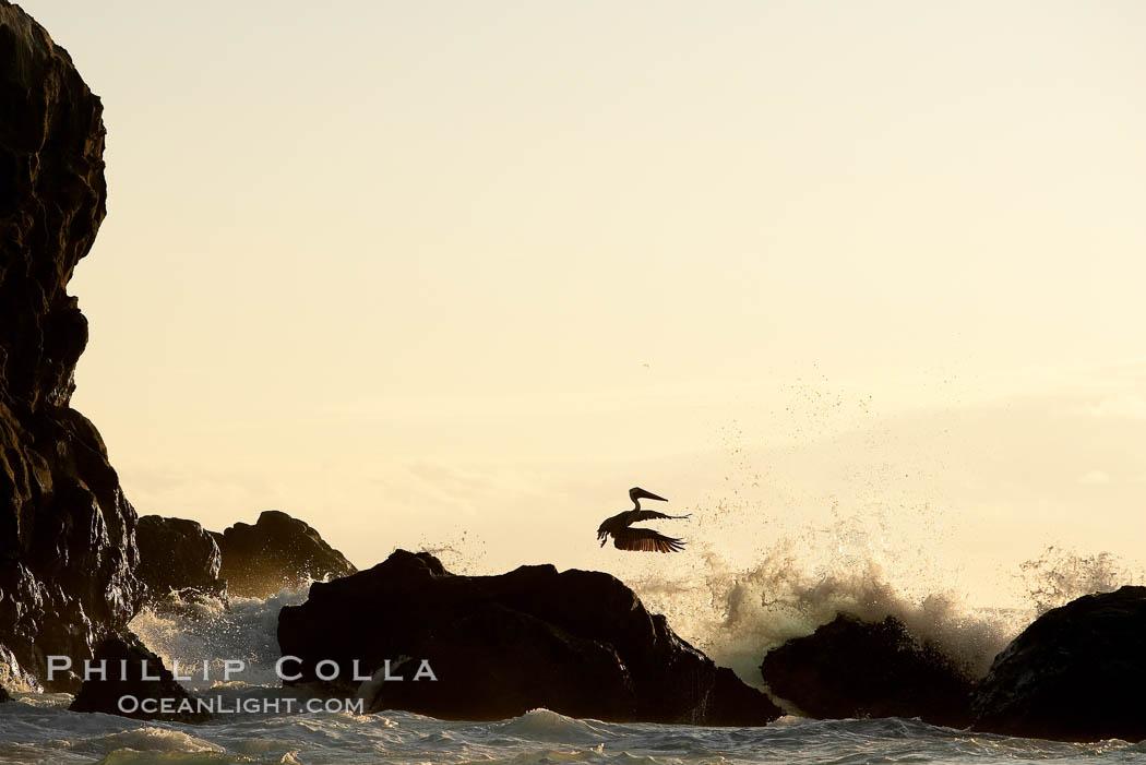 Brown pelican, waves, rocks and cliffs, sunset. Wolf Island, Galapagos Islands, Ecuador, Pelecanus occidentalis, natural history stock photograph, photo id 16689