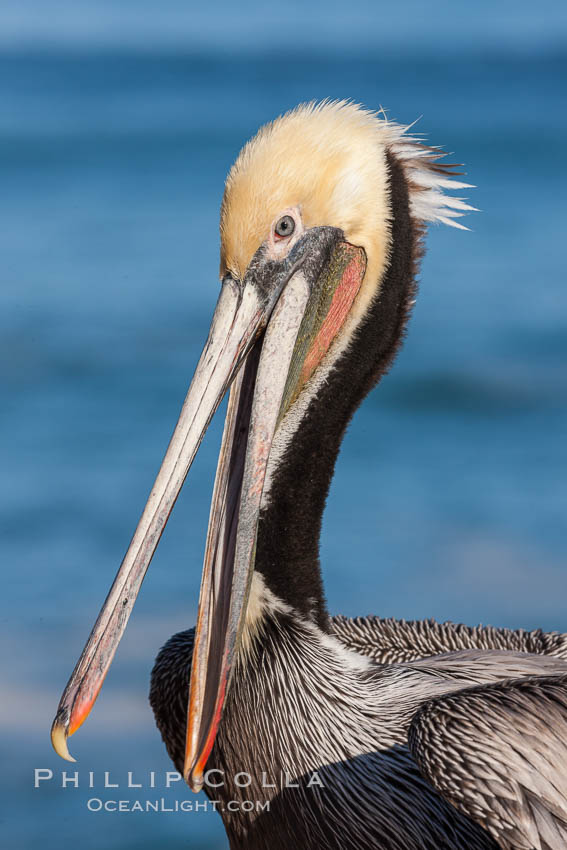 Portrait of California brown pelican, with the characteristic winter mating plumage shown: red throat, yellow head and dark brown hindneck. La Jolla, California, USA, Pelecanus occidentalis, Pelecanus occidentalis californicus, natural history stock photograph, photo id 23653