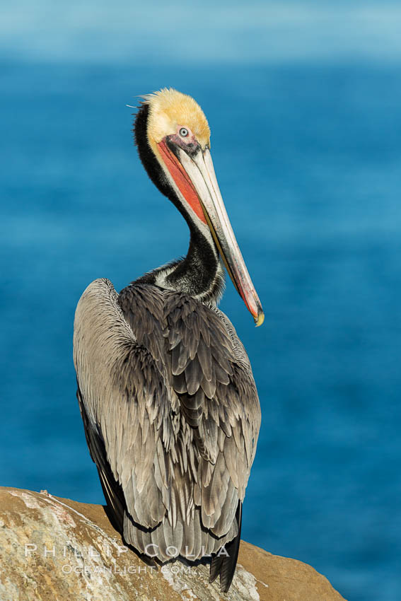 Brown pelican portrait, displaying winter plumage with distinctive yellow head feathers and red gular throat pouch. La Jolla, California, USA, Pelecanus occidentalis, Pelecanus occidentalis californicus, natural history stock photograph, photo id 30296