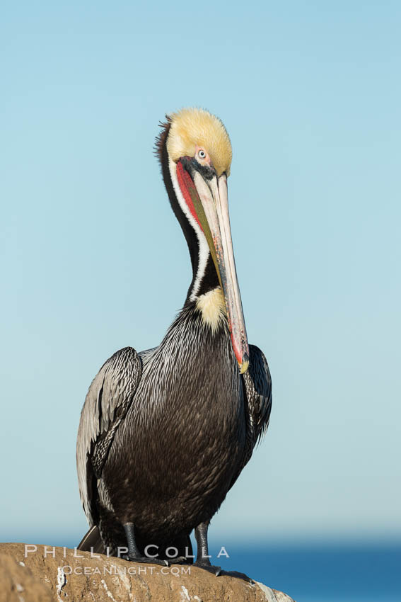 Brown pelican portrait, displaying winter plumage with distinctive yellow head feathers and red gular throat pouch. La Jolla, California, USA, Pelecanus occidentalis, Pelecanus occidentalis californicus, natural history stock photograph, photo id 30301