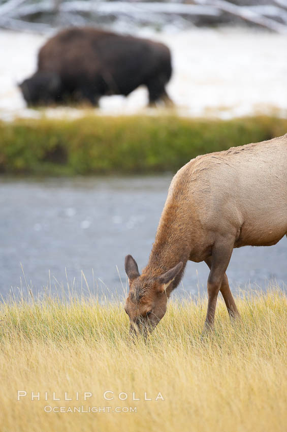 Male elk bugling during the fall rut. Large male elk are known as bulls. Male elk have large antlers which are shed each year. Male elk engage in competitive mating behaviors during the rut, including posturing, antler wrestling and bugling, a loud series of screams which is intended to establish dominance over other males and attract females. Madison River, Yellowstone National Park, Wyoming, USA, Cervus canadensis, Bison bison, natural history stock photograph, photo id 19777