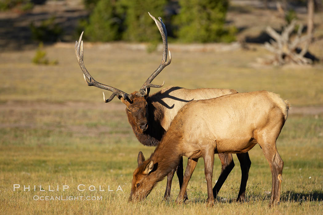 Male elk (bull) alongside female elk in grassy meadow, during rutting season.  A bull will defend his harem of 20 cows or more from competing bulls and predators. Only mature bulls have large harems and breeding success peaks at about eight years of age. Bulls between two to four years and over 11 years of age rarely have harems, and spend most of the rut on the periphery of larger harems. Young and old bulls that do acquire a harem hold it later in the breeding season than do bulls in their prime. A bull with a harem rarely feeds and he may lose up to 20 percent of his body weight while he is guarding the harem. Yellowstone National Park, Wyoming, USA, Cervus canadensis, natural history stock photograph, photo id 19723