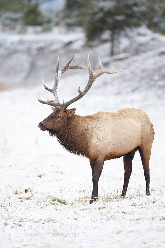 Large male elk (bull) in snow covered meadow near Madison River.  Only male elk have antlers, which start growing in the spring and are shed each winter. The largest antlers may be 4 feet long and weigh up to 40 pounds. Antlers are made of bone which can grow up to one inch per day. While growing, the antlers are covered with and protected by a soft layer of highly vascularised skin known as velvet. The velvet is shed in the summer when the antlers have fully developed. Bull elk may have six or more tines on each antler, however the number of tines has little to do with the age or maturity of a particular animal. Yellowstone National Park, Wyoming, USA, Cervus canadensis, natural history stock photograph, photo id 19749