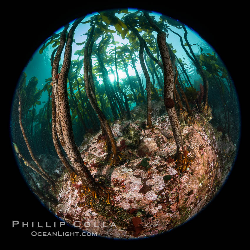 A forest of bull kelp rises above a colorful cold water reef, rich with invertebrate life. Browning Pass, Vancouver Island. British Columbia, Canada, Nereocystis luetkeana, natural history stock photograph, photo id 35295