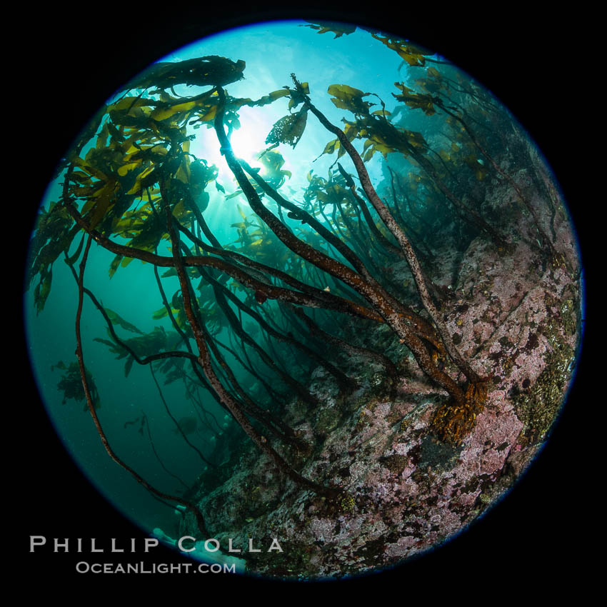 A forest of bull kelp rises above a colorful cold water reef, rich with invertebrate life. Browning Pass, Vancouver Island. British Columbia, Canada, Nereocystis luetkeana, natural history stock photograph, photo id 35405