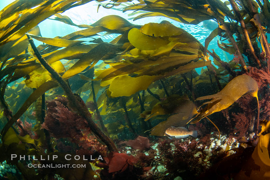 Image 35411, Bull kelp forest near Vancouver Island and Queen Charlotte Strait, Browning Pass, Canada. British Columbia, Canada, Nereocystis luetkeana