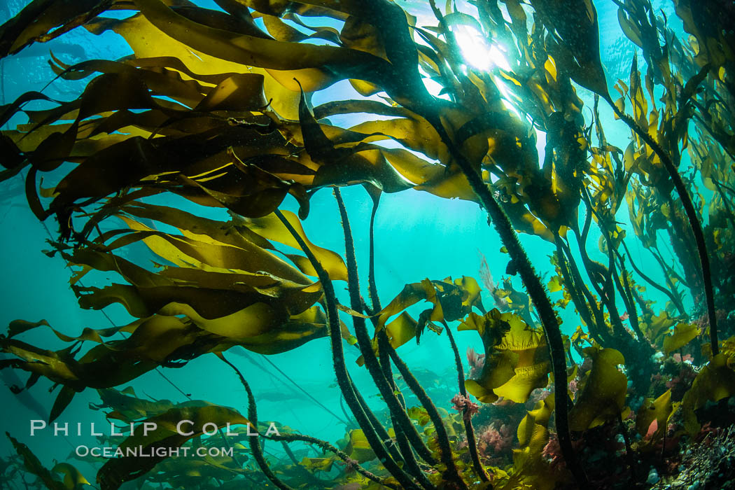 Image 35393, Bull kelp forest near Vancouver Island and Queen Charlotte Strait, Browning Pass, Canada. British Columbia, Nereocystis luetkeana, Phillip Colla, all rights reserved worldwide. Keywords: british columbia, browning pass, bull kelp, canada, kelp, marine, nereocystis leutkeana, nereocystis luetkeana, pacific, pacific northwest, pacific ocean, queen charlotte straight, underwater, vancouver island.