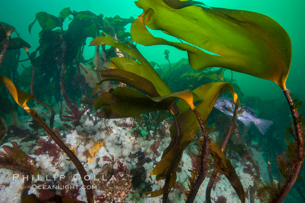 Bull kelp forest near Vancouver Island and Queen Charlotte Strait, Browning Pass, Canada. British Columbia, Canada, Nereocystis luetkeana, natural history stock photograph, photo id 34444