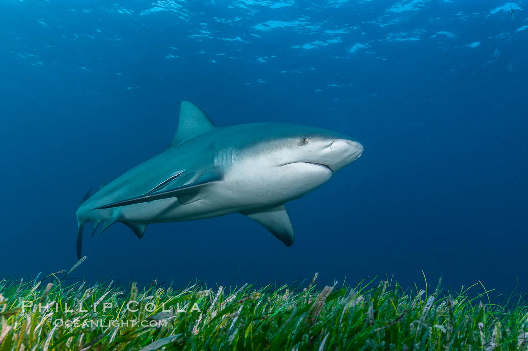 Bull shark. Great Isaac Island, Bahamas, Carcharhinus leucas, natural history stock photograph, photo id 12718