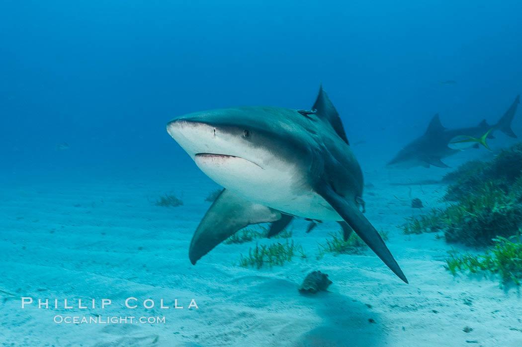 Bull shark. Great Isaac Island, Bahamas, Carcharhinus leucas, natural history stock photograph, photo id 12715