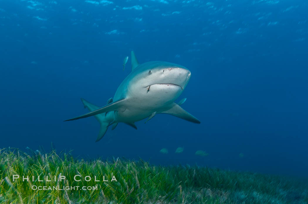 Bull shark. Great Isaac Island, Bahamas, Carcharhinus leucas, natural history stock photograph, photo id 12721