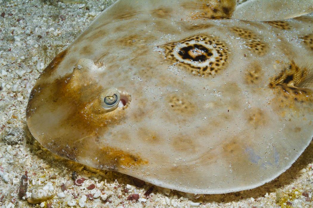 Bullseye torpedo electric ray, Sea of Cortez, Baja California, Mexico. Sea of Cortez, Baja California, Mexico, Diplobatis ommata, natural history stock photograph, photo id 27544