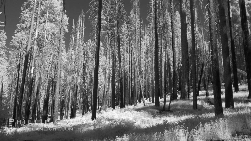 Image 23309, Burned trees, fire damaged and killed, dead. Mariposa Grove, Phillip Colla, all rights reserved worldwide. Keywords: california, infrared, infrared photography, mariposa grove, national parks, plant, redwood tree, sequoia tree, terrestrial plant, tree, usa, world heritage sites, yosemite, yosemite national park, yosemite park.