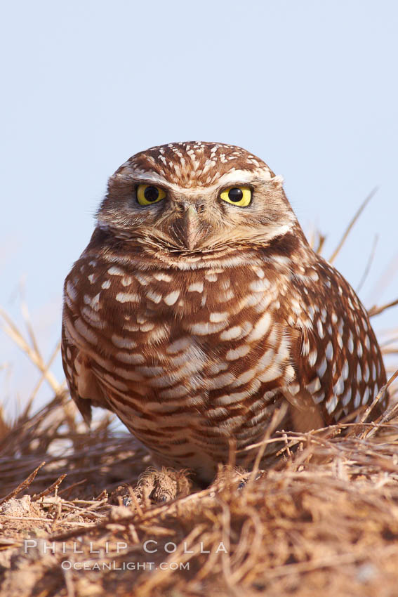Image 22521, Burrowing owl (Western North American race hypugaea). This 10-inch-tall burrowing owl is standing besides its burrow. These burrows are usually created by squirrels, prairie dogs, or other rodents and even turtles, and only rarely dug by the owl itself. Salton Sea, Imperial County, California, USA, Athene cunicularia, Athene cunicularia hypugaea, Phillip Colla, all rights reserved worldwide. Keywords: animal, animalia, athene, athene cunicularia, athene cunicularia hypugaea, aves, bird, burrowing owl, california, chordata, cunicularia, imperial county, owl, salton sea, strigidae, strigiformes, usa, vertebrata, vertebrate, wildlife.