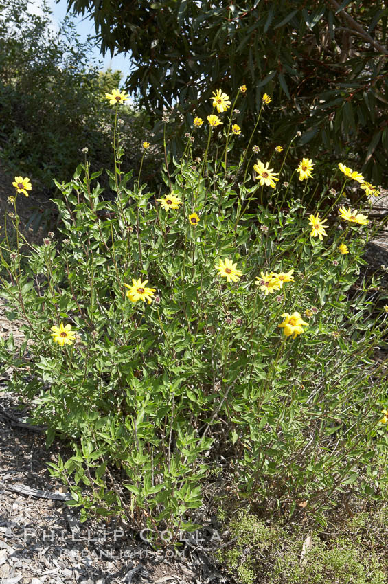 Bush sunflower, Batiquitos Lagoon, Carlsbad. Batiquitos Lagoon, Carlsbad, California, USA, Encelia californica, natural history stock photograph, photo id 11326