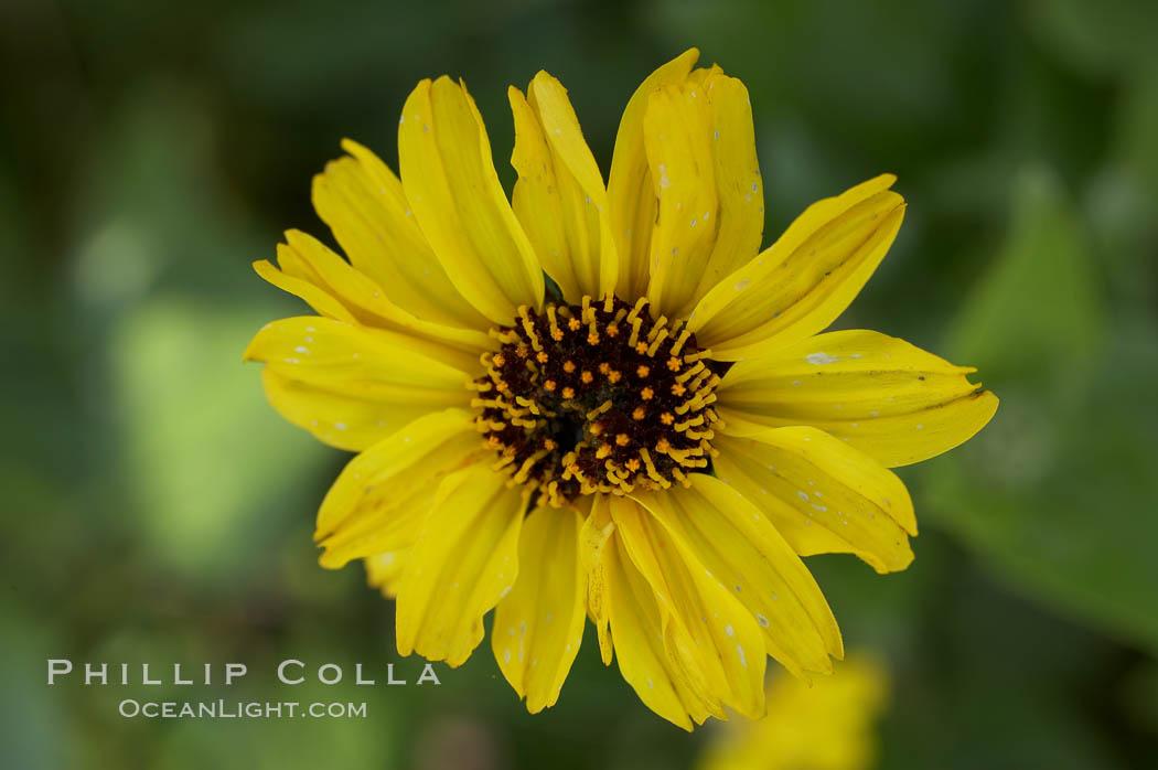 Bush sunflower, Batiquitos Lagoon, Carlsbad. Batiquitos Lagoon, Carlsbad, California, USA, Encelia californica, natural history stock photograph, photo id 11328