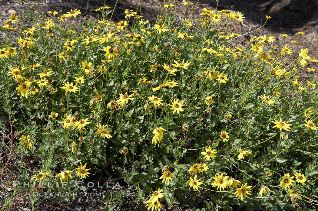 Bush sunflower, Batiquitos Lagoon, Carlsbad. Batiquitos Lagoon, Carlsbad, California, USA, Encelia californica, natural history stock photograph, photo id 11325
