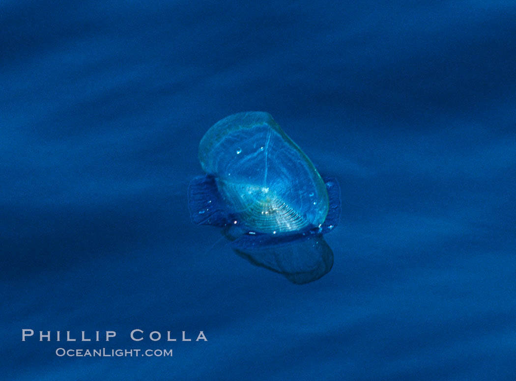 By-the-wind-sailor hydroid colony, open ocean. San Diego, California, USA, Velella velella, natural history stock photograph, photo id 06216