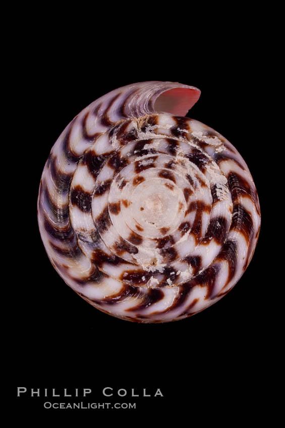 Calf Cone, Conus vitulinus, natural history stock photograph, photo id 07972