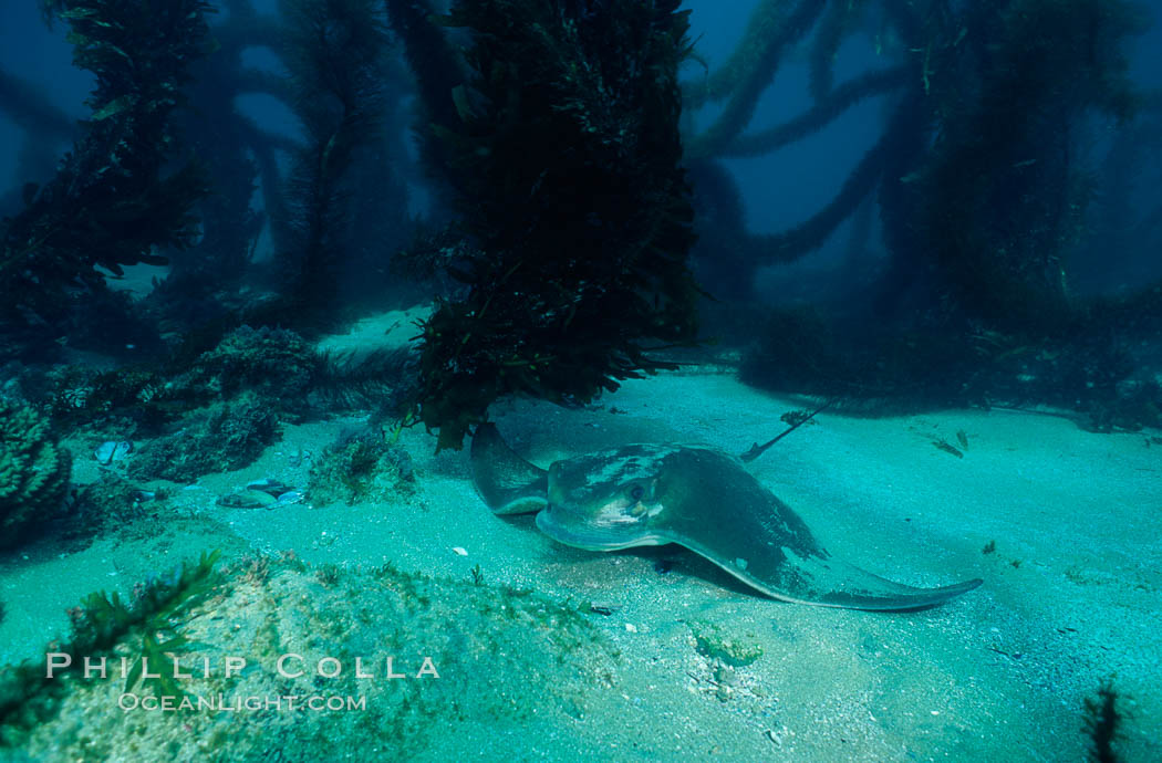 California bat ray. San Clemente Island, USA, Myliobatis californica, natural history stock photograph, photo id 04986
