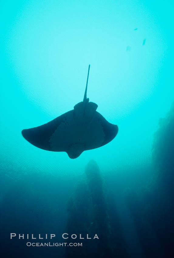 California bat ray. San Clemente Island, California, USA, Myliobatis californica, natural history stock photograph, photo id 00579