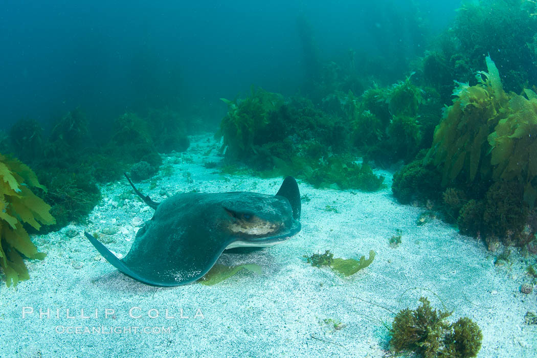 California bat ray, laying on sandy ocean bottom amid kelp and rocky reef. San Clemente Island, California, USA, Myliobatis californica, natural history stock photograph, photo id 25437