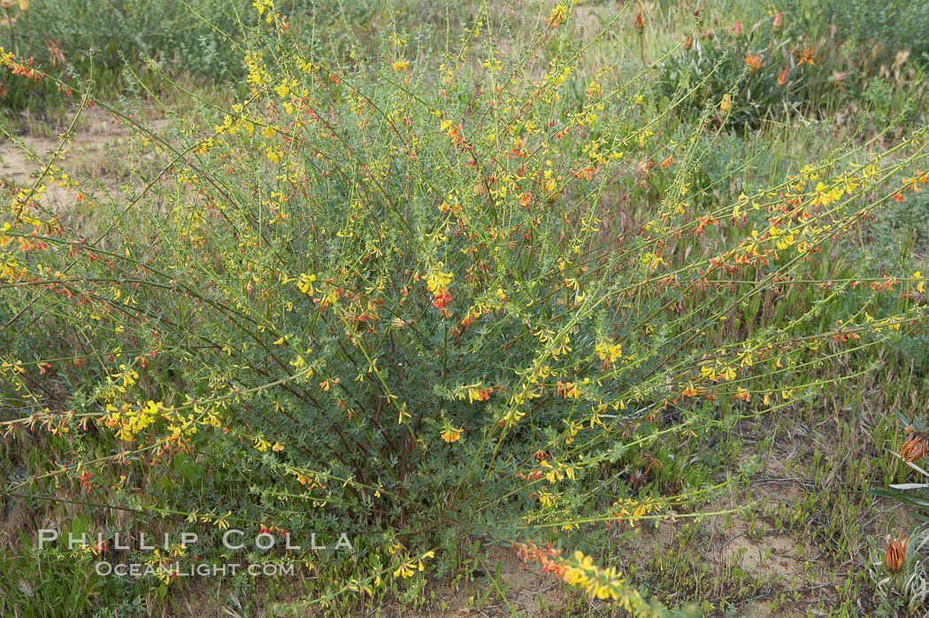 California broom, common deerweed.  The flowers, originally yellow in color, turn red after pollination.  Batiquitos Lagoon, Carlsbad. Batiquitos Lagoon, Carlsbad, California, USA, Lotus scoparius scoparius, natural history stock photograph, photo id 11338