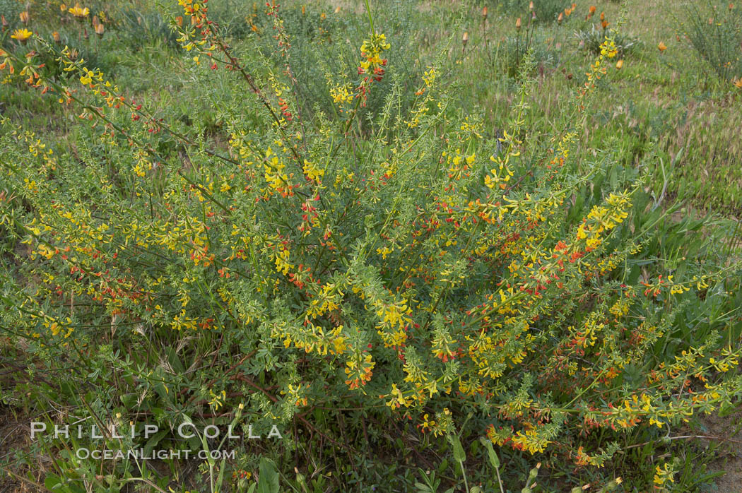 California broom, common deerweed.  The flowers, originally yellow in color, turn red after pollination.  Batiquitos Lagoon, Carlsbad. Batiquitos Lagoon, Carlsbad, California, USA, Lotus scoparius scoparius, natural history stock photograph, photo id 11339