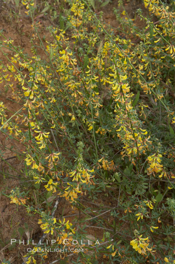 California broom, common deerweed.  The flowers, originally yellow in color, turn red after pollination.  Batiquitos Lagoon, Carlsbad. Batiquitos Lagoon, Carlsbad, California, USA, Lotus scoparius scoparius, natural history stock photograph, photo id 11337