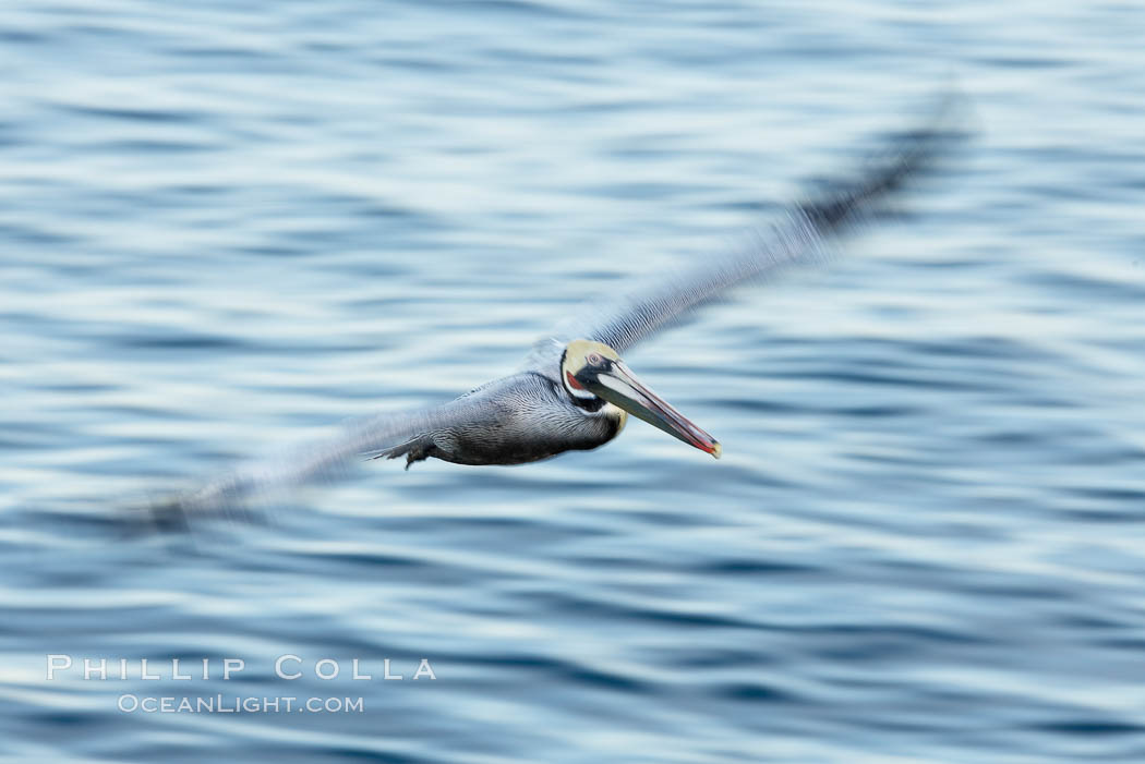 Brown pelican in flight.  The wingspan of the brown pelican is over 7 feet wide. Long exposure shows motion as a blur. The California race of the brown pelican holds endangered species status.  In winter months, breeding adults assume a dramatic plumage with dark brown hindneck and bright red gular throat pouch. La Jolla, California, USA, Pelecanus occidentalis, Pelecanus occidentalis californicus, natural history stock photograph, photo id 20055
