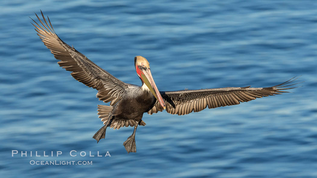 California brown pelican in flight. The wingspan of the brown pelican is over 7 feet wide. The California race of the brown pelican holds endangered species status. In winter months, breeding adults assume a dramatic plumage. La Jolla, USA, Pelecanus occidentalis, Pelecanus occidentalis californicus, natural history stock photograph, photo id 28992